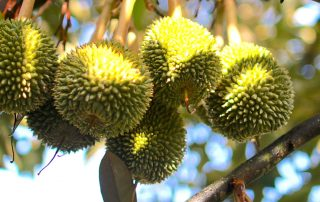 Plantations International creates Durian Harvests brand in Malaysia